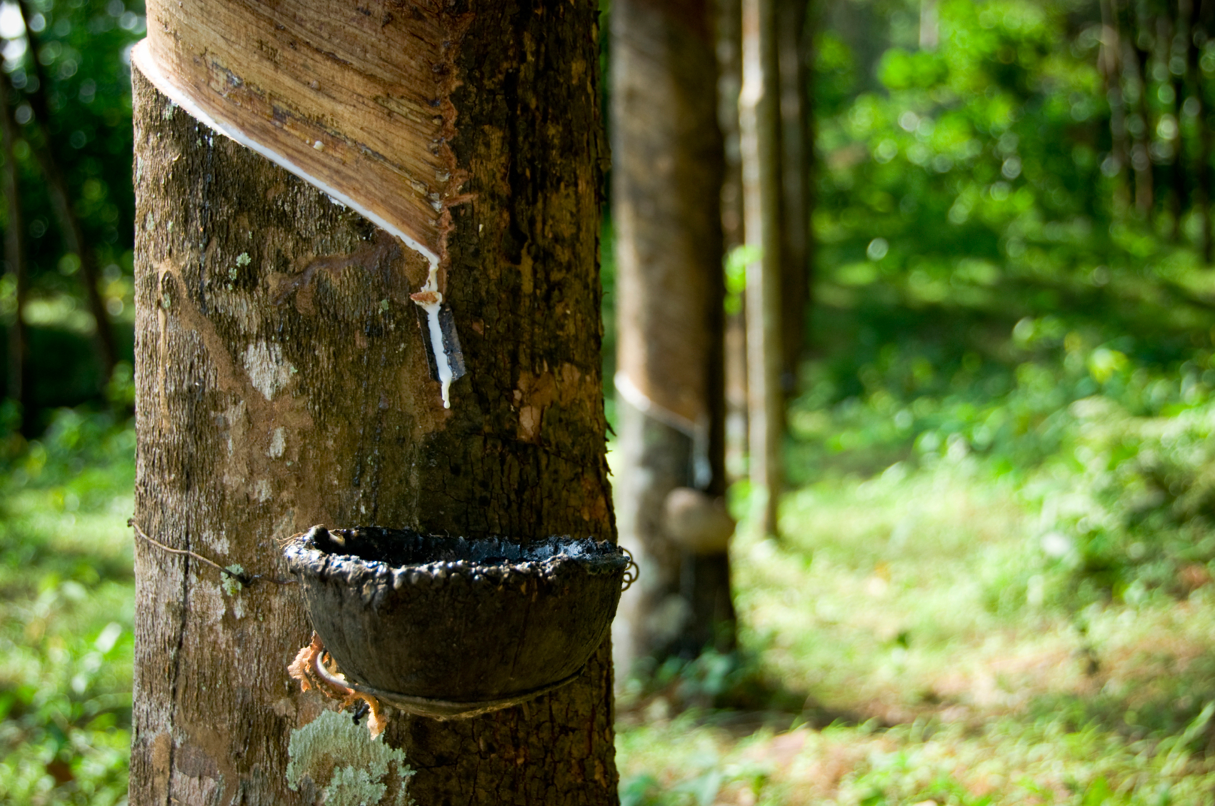Rubber plantation in thailand and vietnam